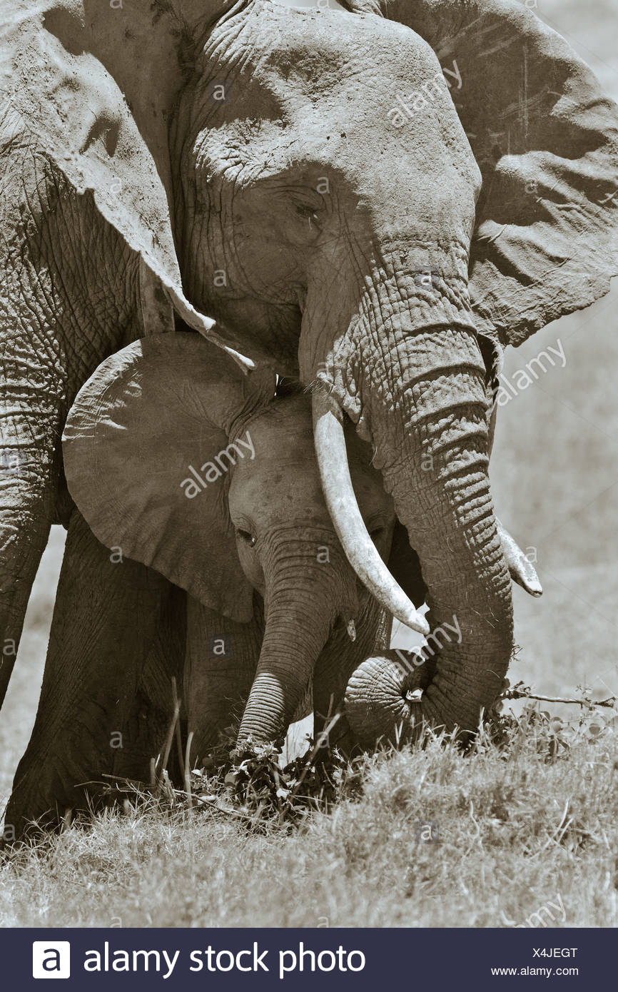 Adult female elephant and baby sheltering beneath, monochrome close up frontal detail, Lewa Downs, Masai Mara, Kenya, East Afric - Stock Image