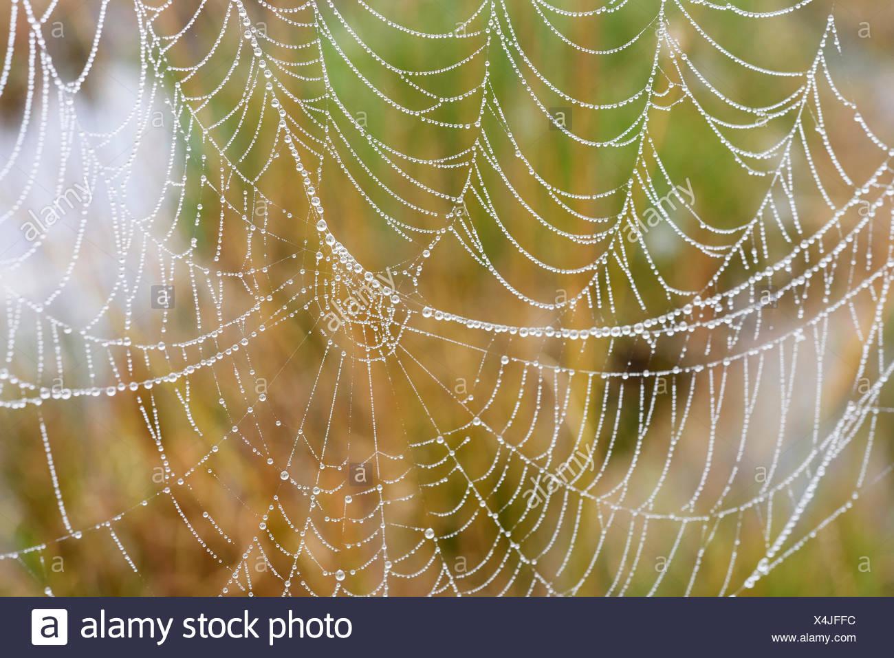 Orb web of a Garden Cross Spider (Araneus diadematus) with dew drops, Bavaria, Germany - Stock Image