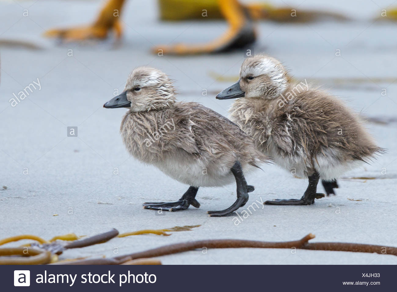 Falkland (Flightless) Steamer-Duck (Tachyeres brachypterus) in the Falkland Islands. - Stock Image