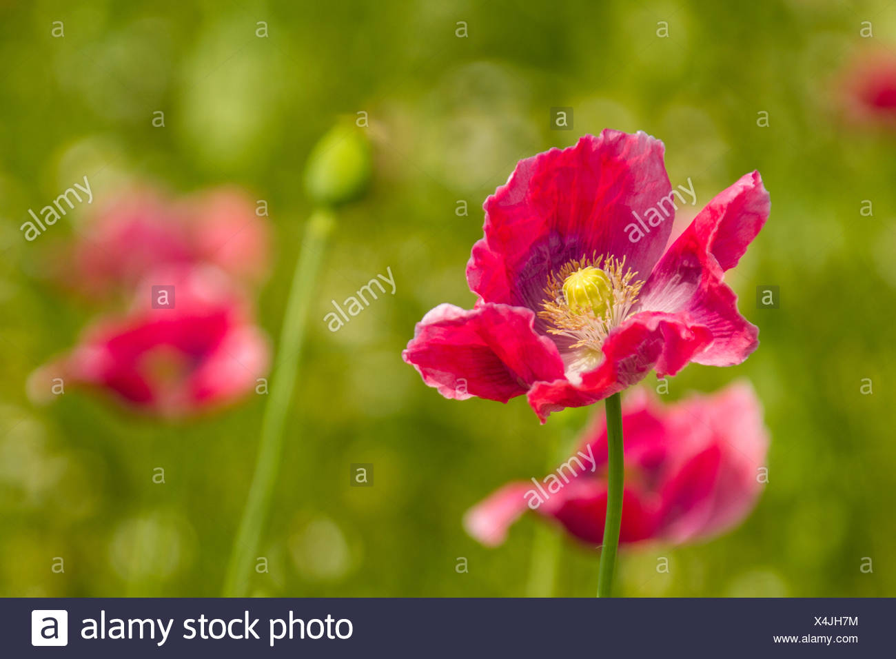Opium poppy, Papaver somniferum Stock Photo