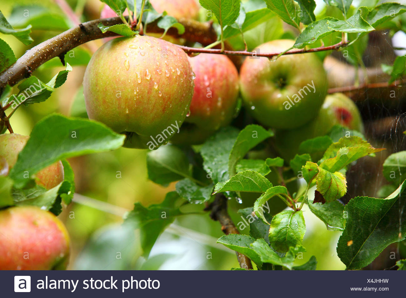 Ripe Beautiful Apples On The Branches Of Apple Trees Stock Photo Alamy