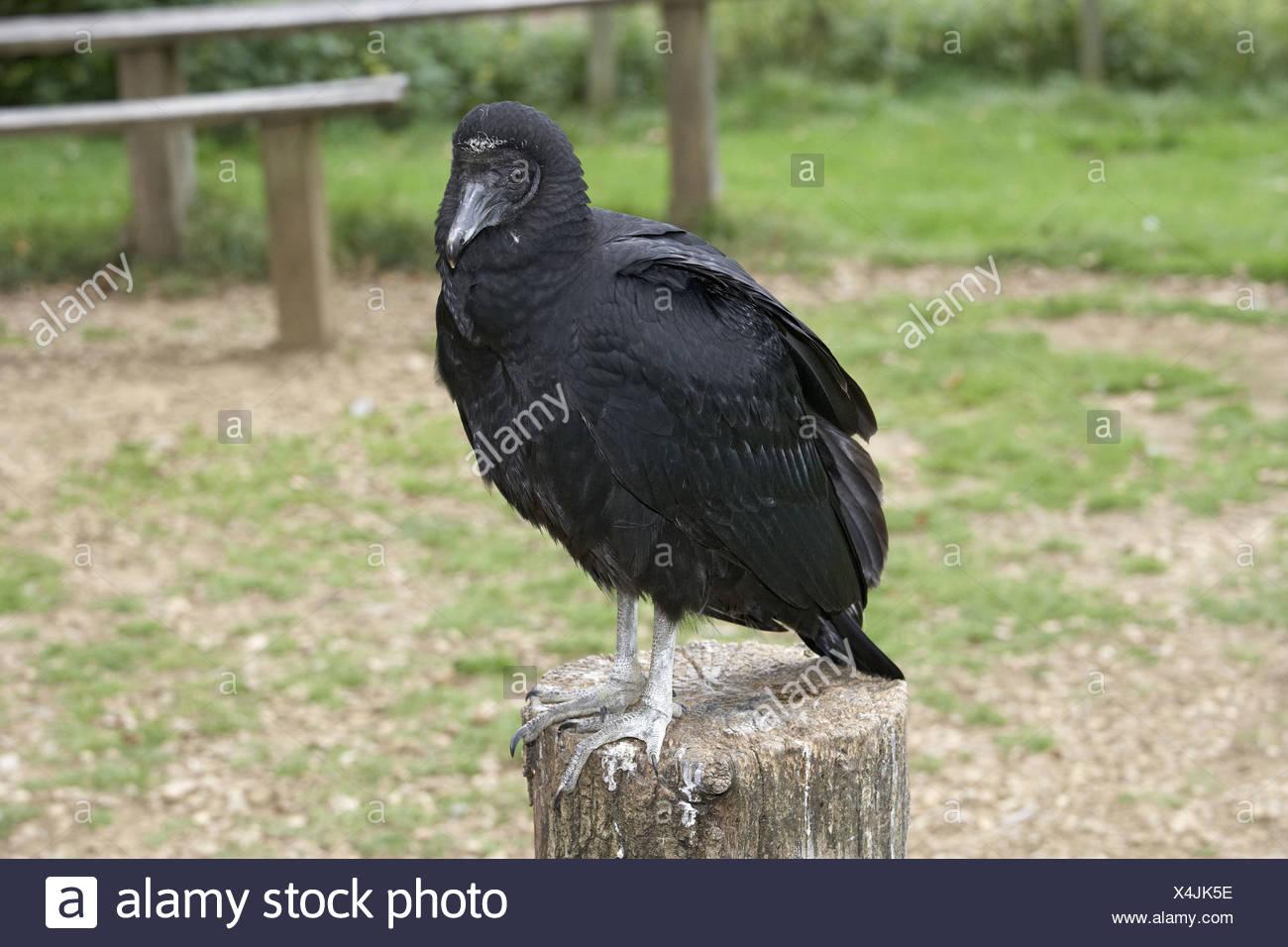 Black vulture (coragyps atratus) perching on tree stump - Stock Image