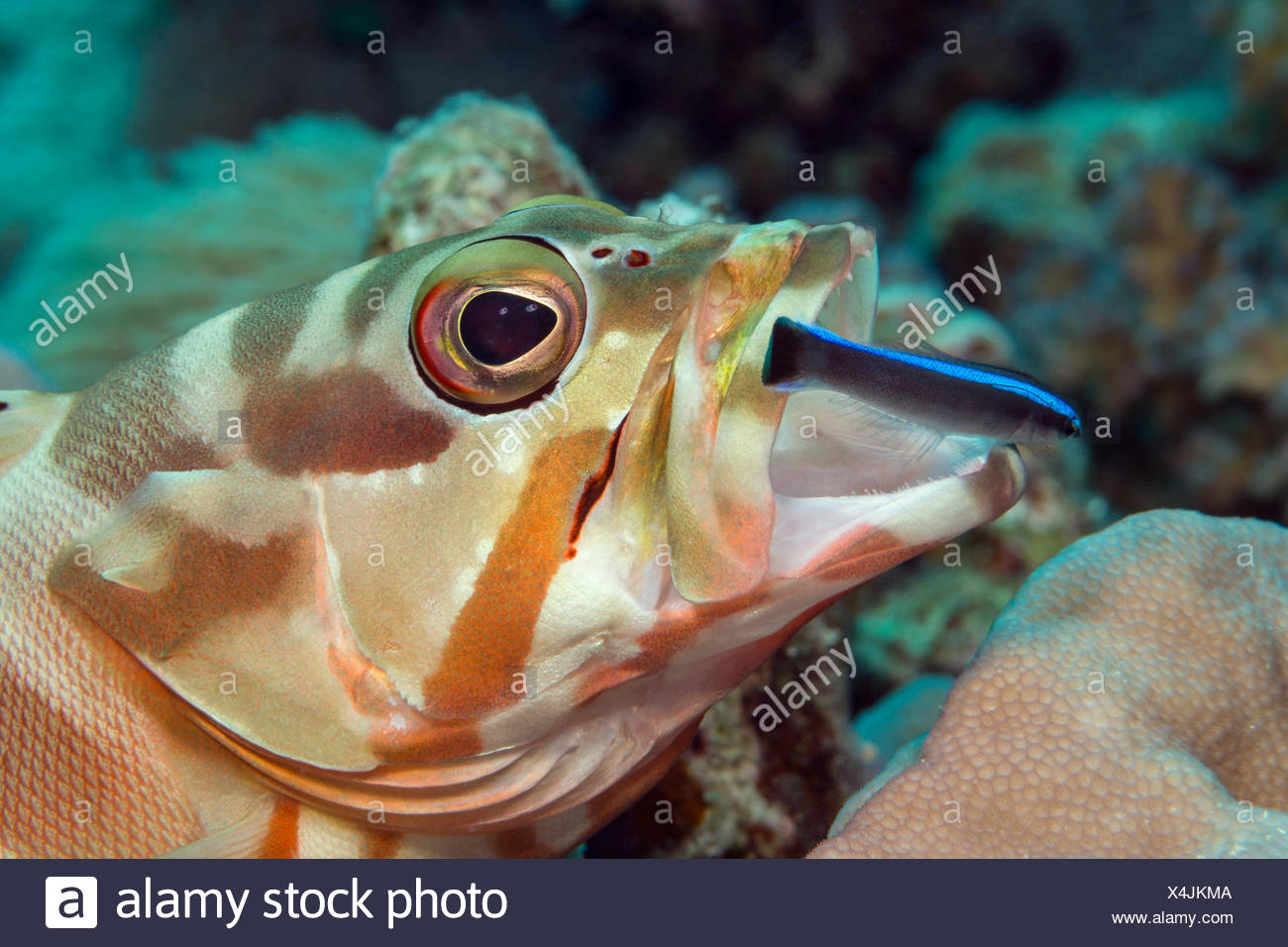 Blacktip Grouper cleaned by Bluestreak Cleaner Wrasse, Epinephelus fasciatus, Marsa Alam, Red Sea, Egypt - Stock Image
