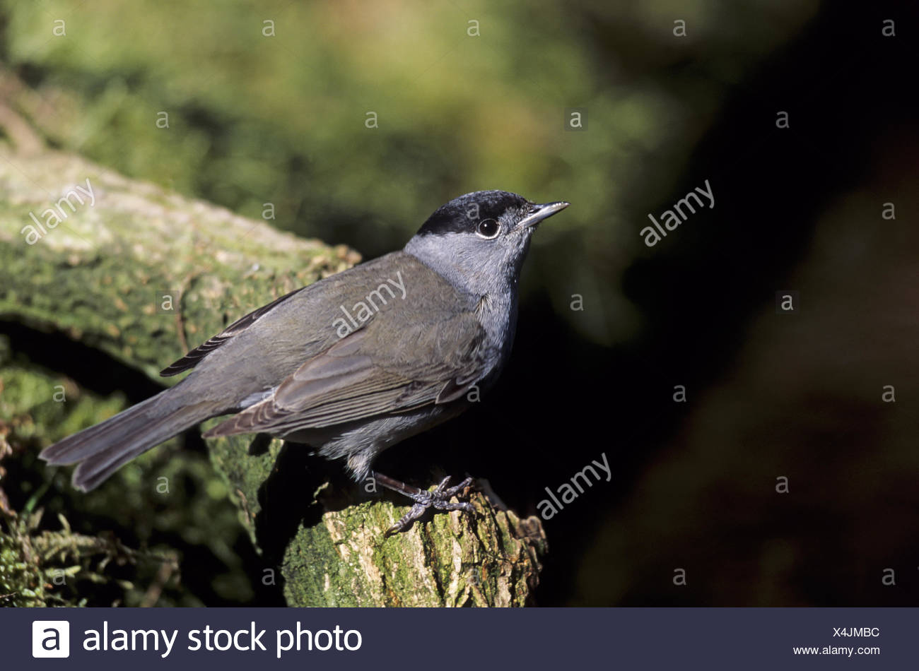 Blackcap adult male with typical black cap - Stock Image