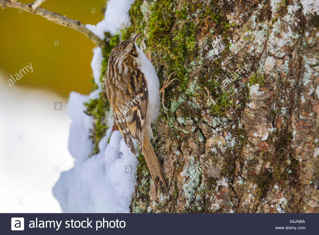 common treecreeper (Certhia familiaris), searching food at an oak in winter, Germany, Bavaria - Stock Image