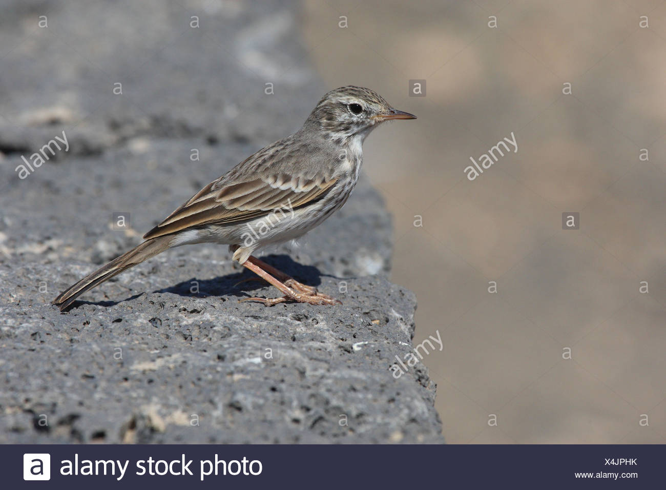 Canaries buzzer in the rock, - Stock Image