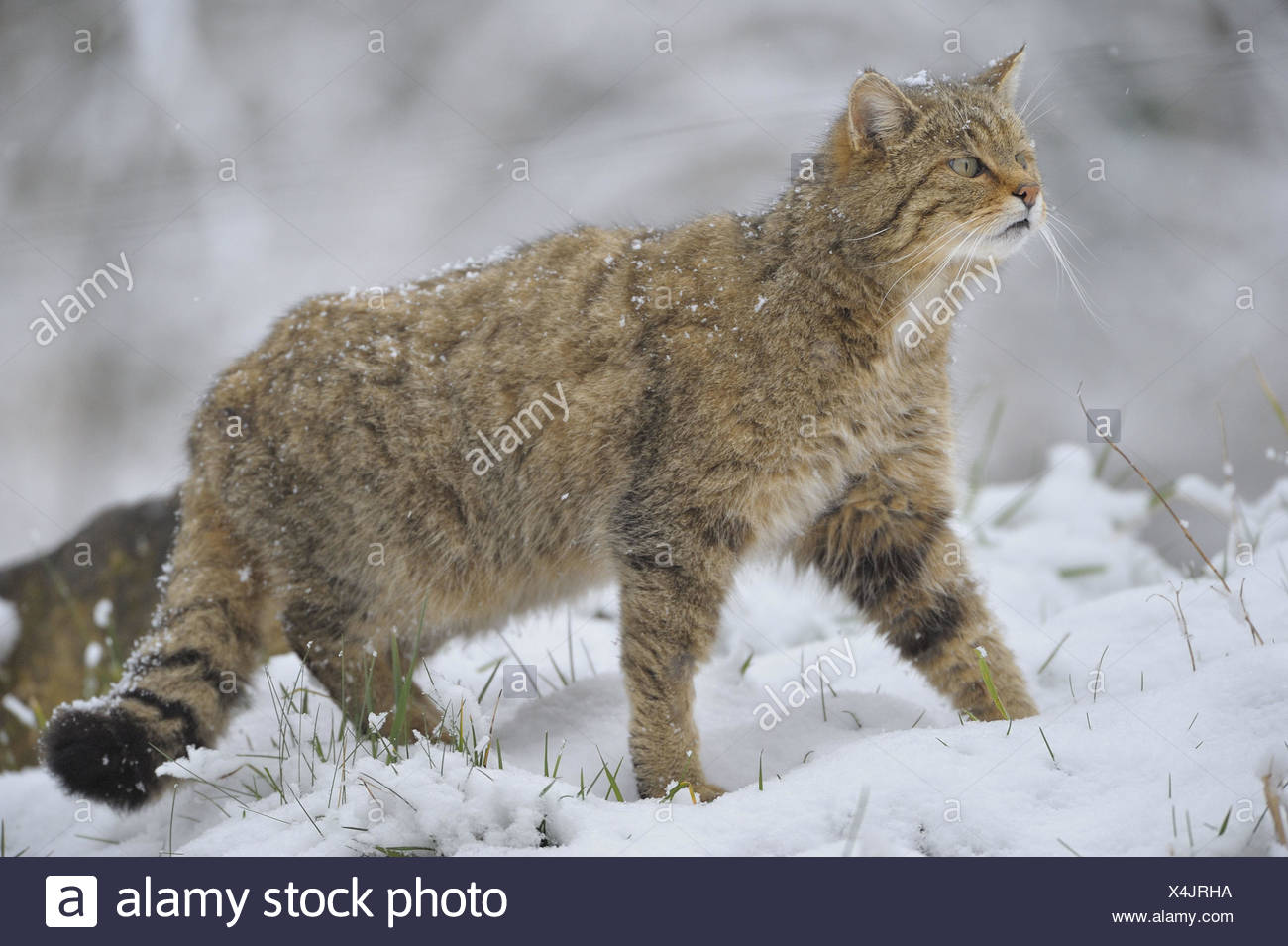 Central European wildcat, Felis silvestris, silvestris, winter, zoo, game park, animals, wild animals, mammals, predators, cat, run, stalk, season, wintry, snow, threatens, whole body, side view, nature, Wildlife, outside, - Stock Image