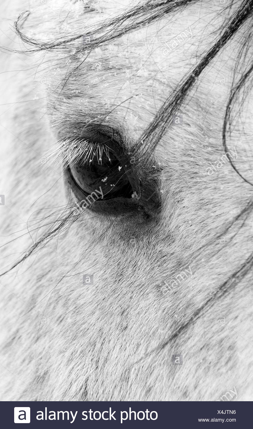A close shot of a horses eye with snow flakes taken in Alberta, Canada. - Stock Image