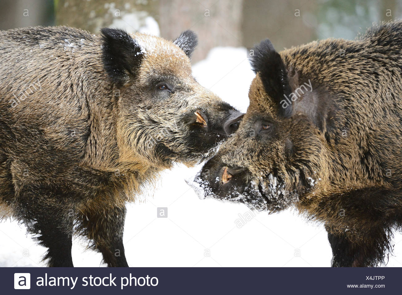 Wild boar, animal, Sus scrofa scrofa, sow, wild boars, black game, pigs, pig, vertebrates, mammals, real pigs, pigs, winter, Germ - Stock Image