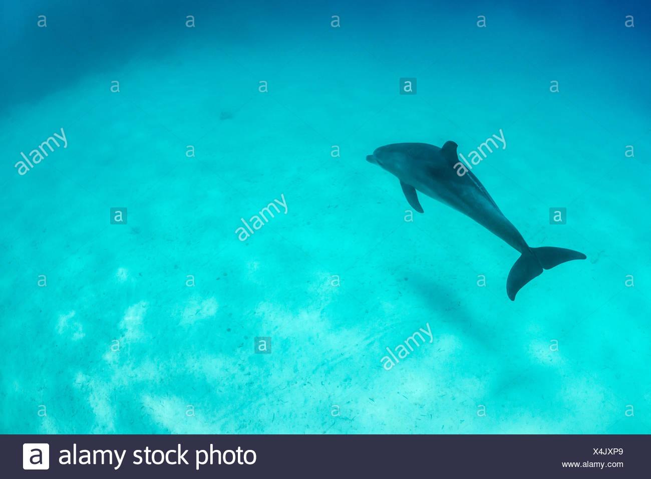Indian Ocean Bottlenose Dolphin, Tursiops aduncus, Marsa Alam, Red Sea, Egypt - Stock Image
