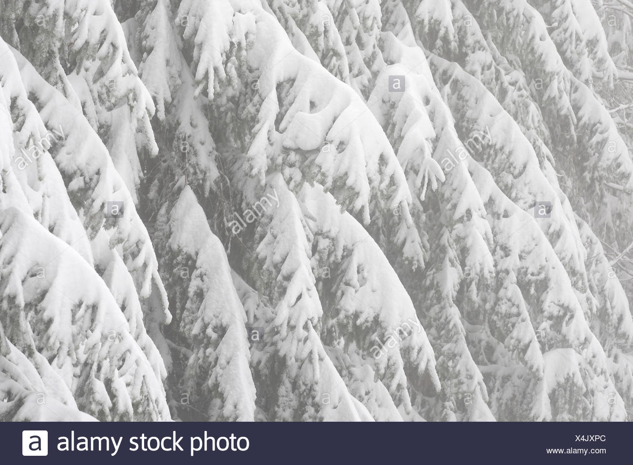 Besneeuwd naaldbos in de winter, nationaal park Vercors, Frankrijk Snow covered pine forest in winter, Vercors national parc, France - Stock Image