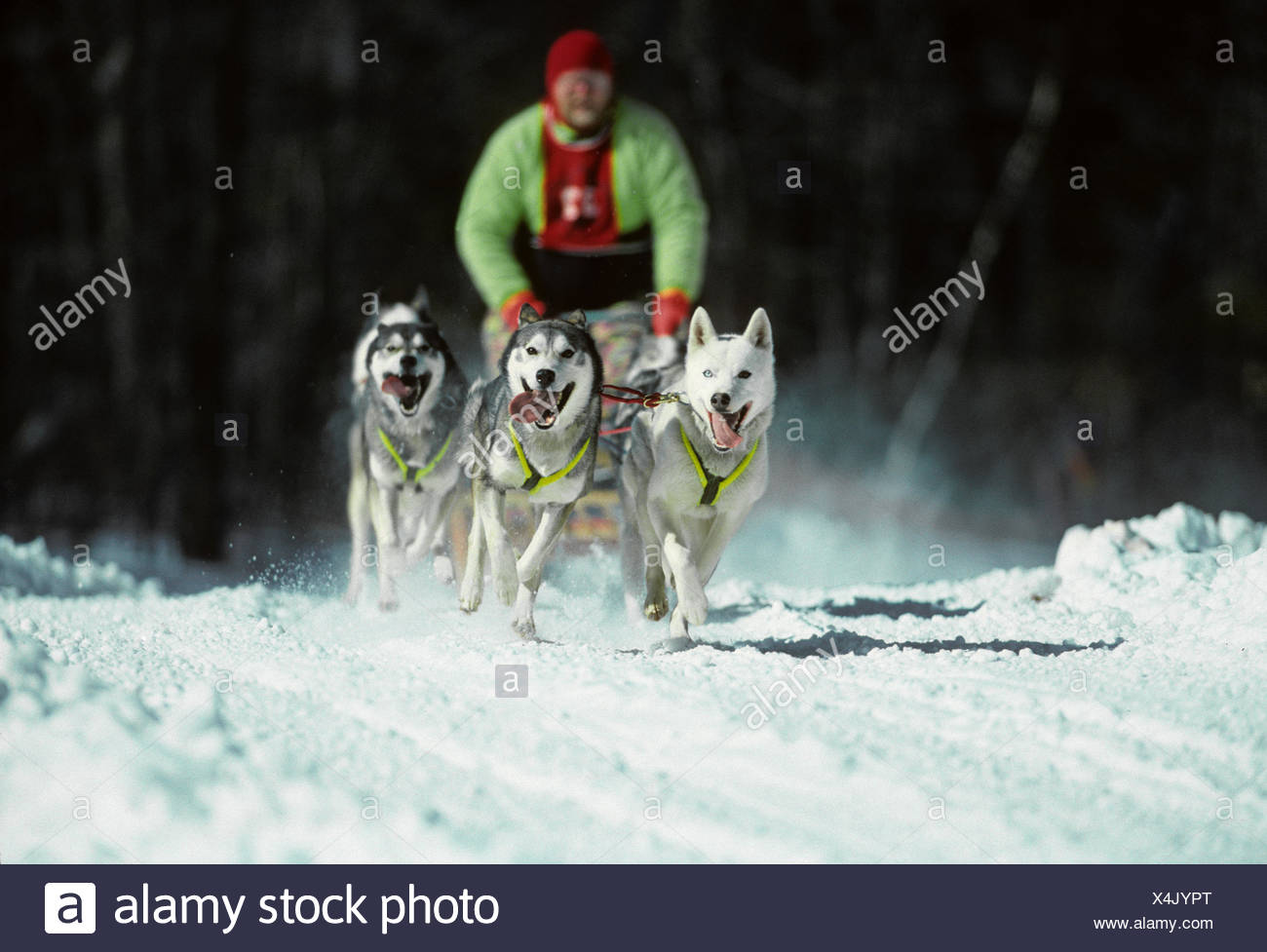 Siberian Husky (Canis lupus familiaris) Active energetic resilient breed whose ancestors from extremely cold harsh environment - Stock Image