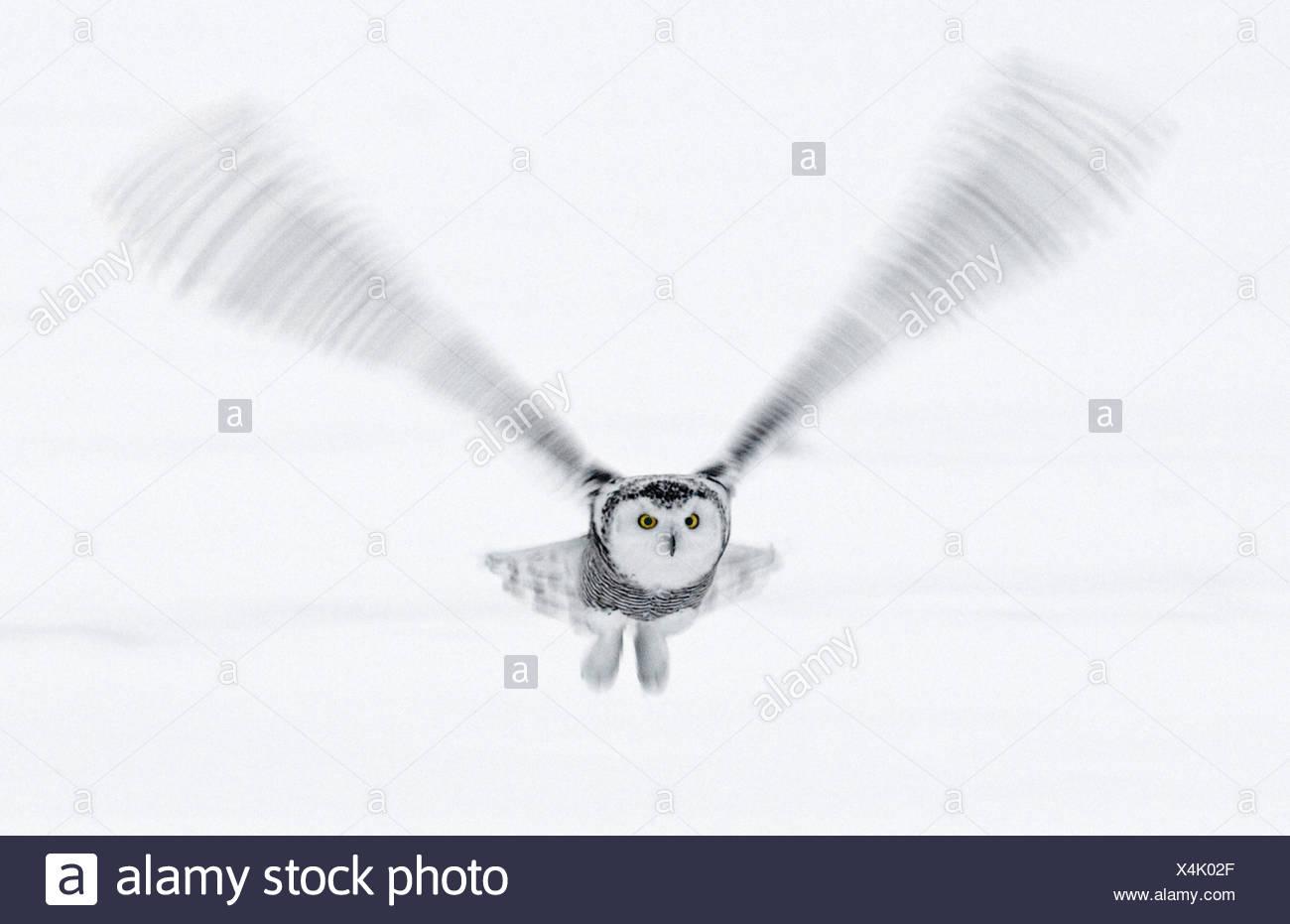 Snowy Owl in flight, Ottawa, Canada Stock Photo