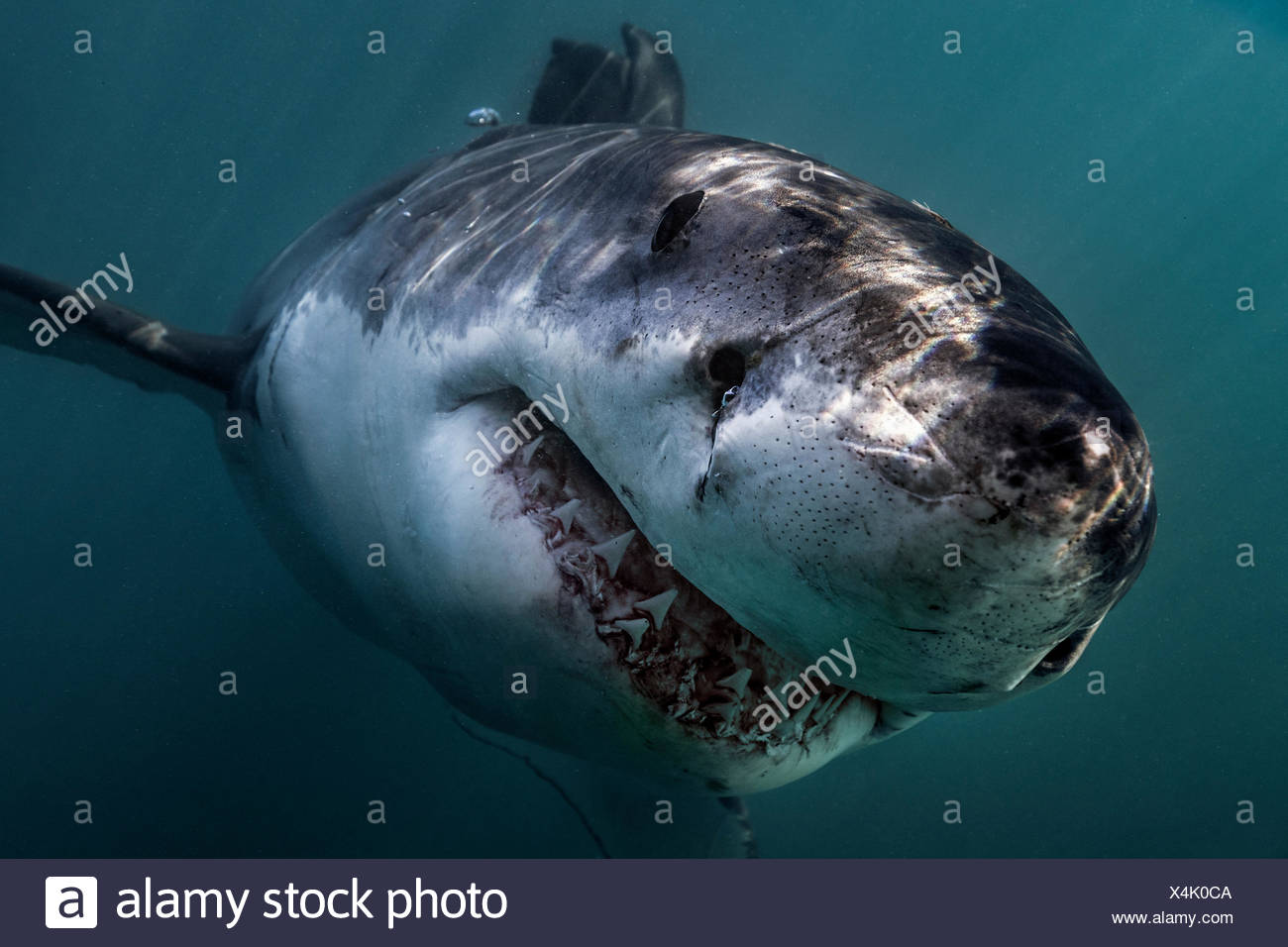Great White Shark (Carcharodon Carcharias) swimming directly at camera, Gansbaai, South Africa - Stock Image