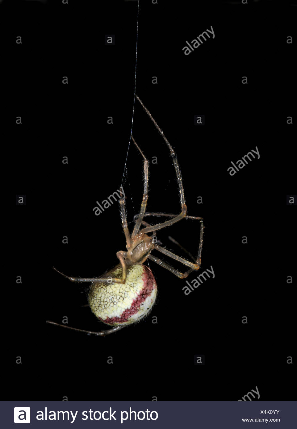 Comb-footed Spider - Enoplognatha ovata - Stock Image