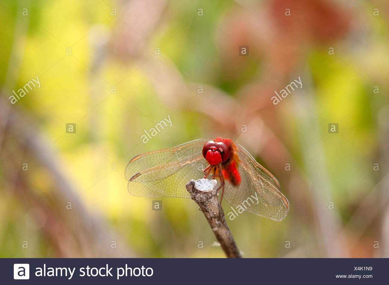 Scarlet Dragonfly, Broad Scarlet, France, Crocothemis erythraea, scarlet darter, insect, dragonfly, red, crocothemis erythraea, Stock Photo