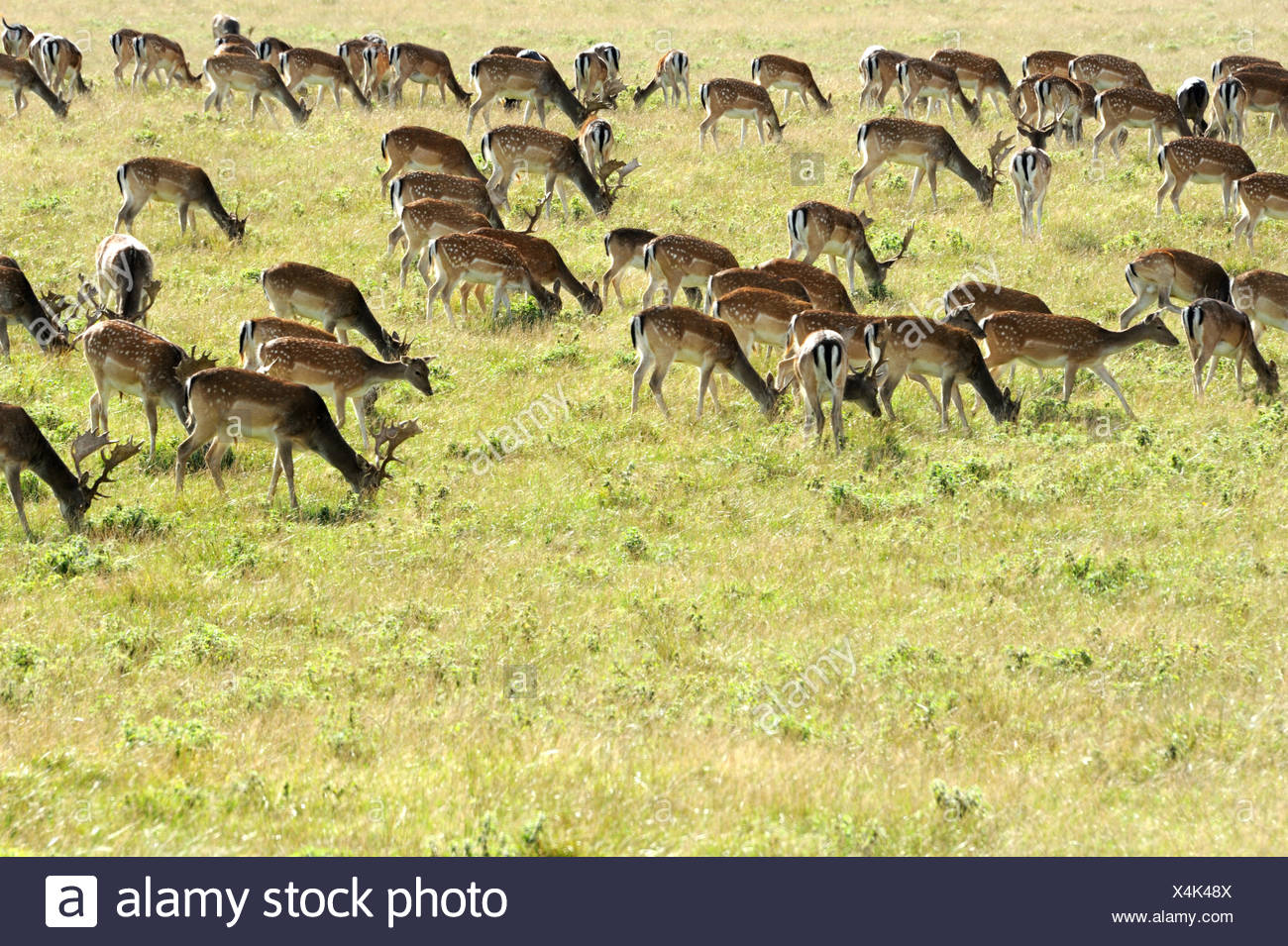 fallow deer, fallow buck - Stock Image