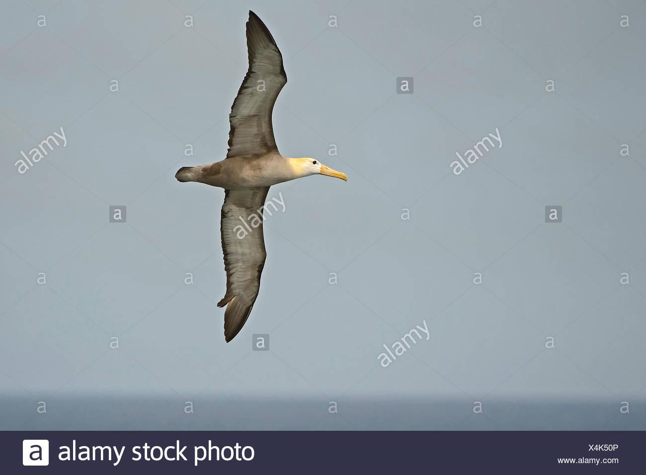 Galapagosalbatros, Galapagos-Albatros (Diomedea irrorata, Phoebastria irrorata), im Flug, Ecuador, Galapagos-Inseln, Espanola |  - Stock Image