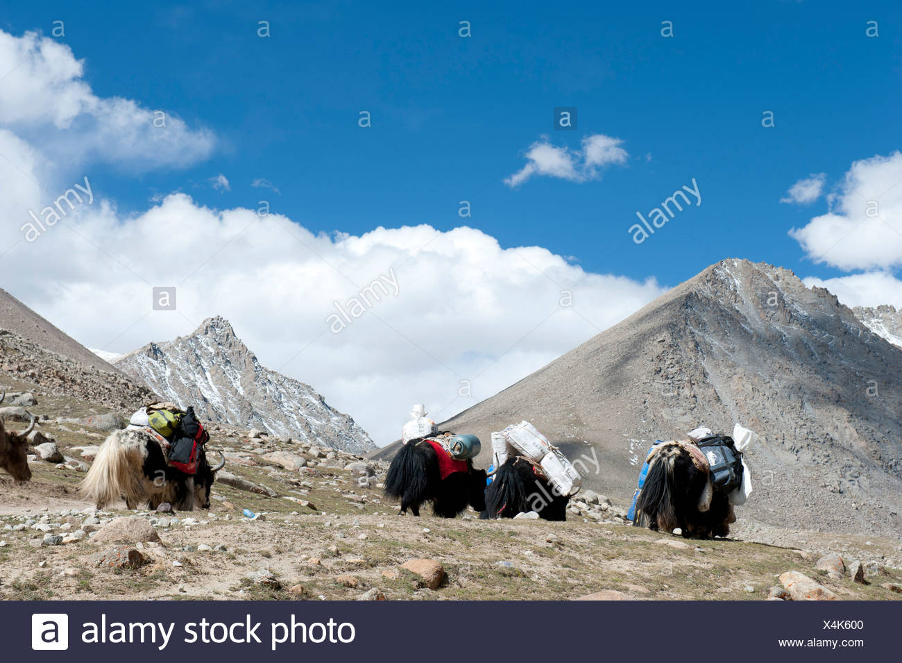 Tibetan Buddhism, waterfall, packed yak (Bos mutus) in the mountains, pilgrimage route to the sacred Mount Kailash - Stock Image