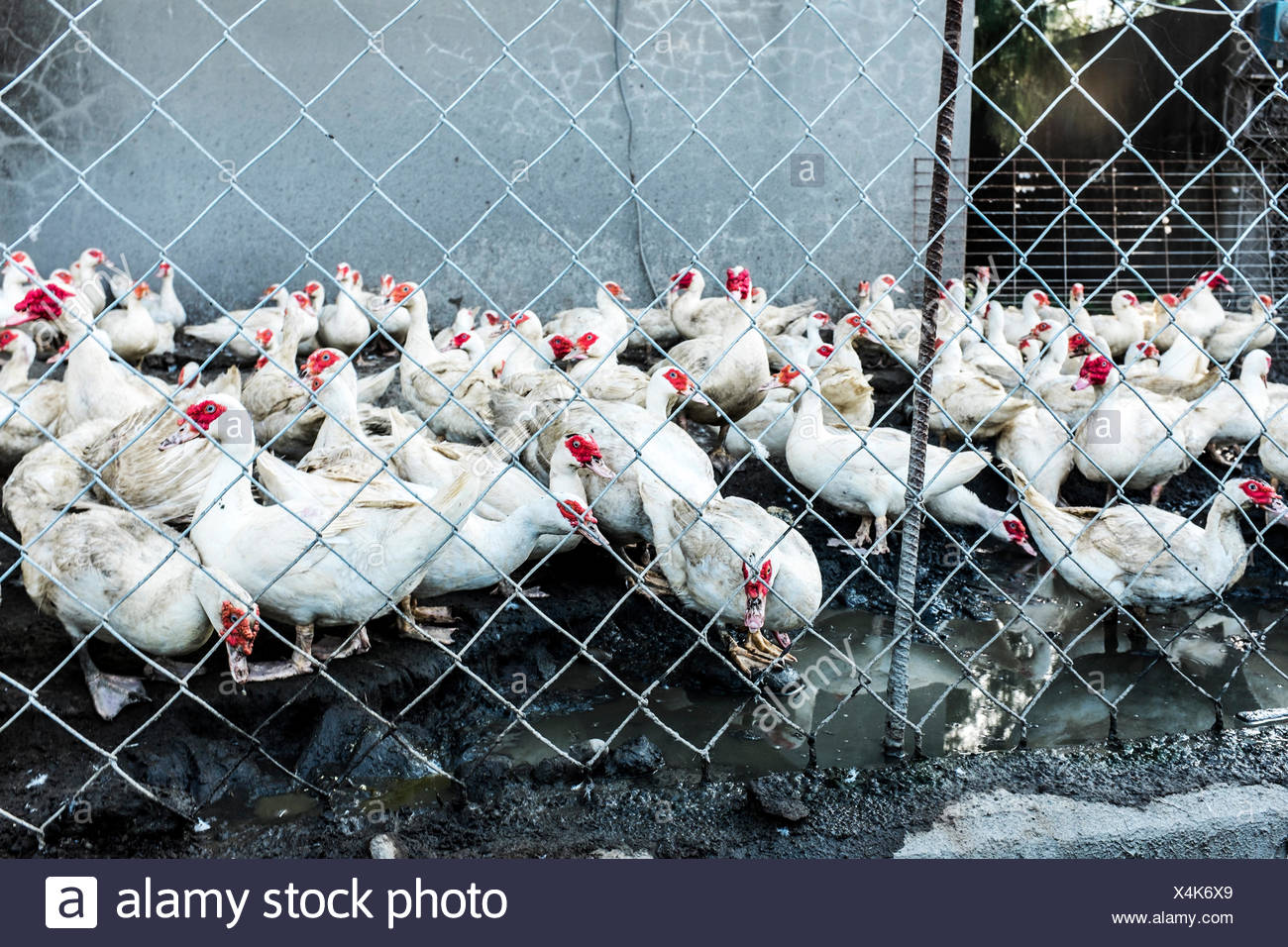 Hens In Coop - Stock Image
