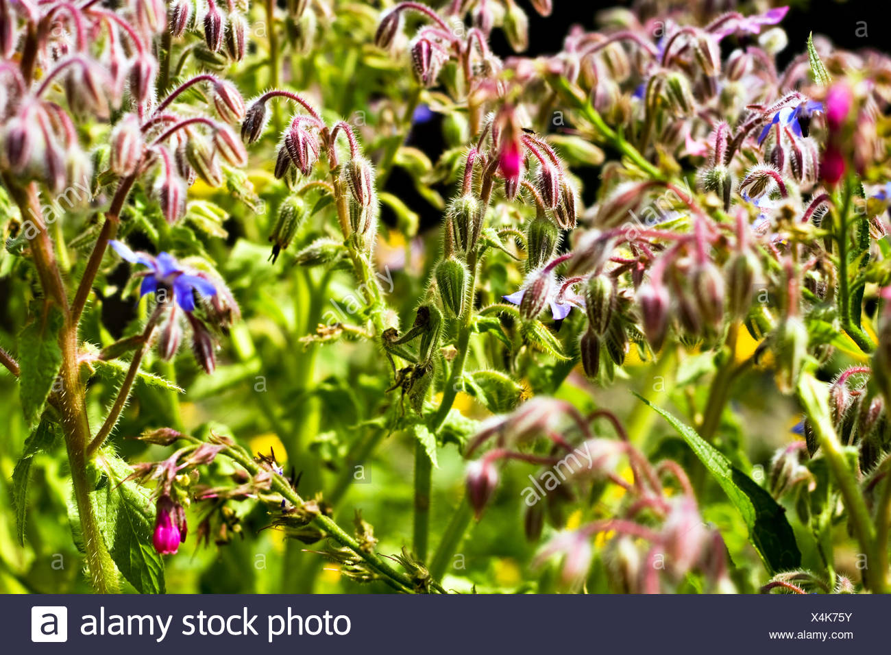 borage Stock Photo