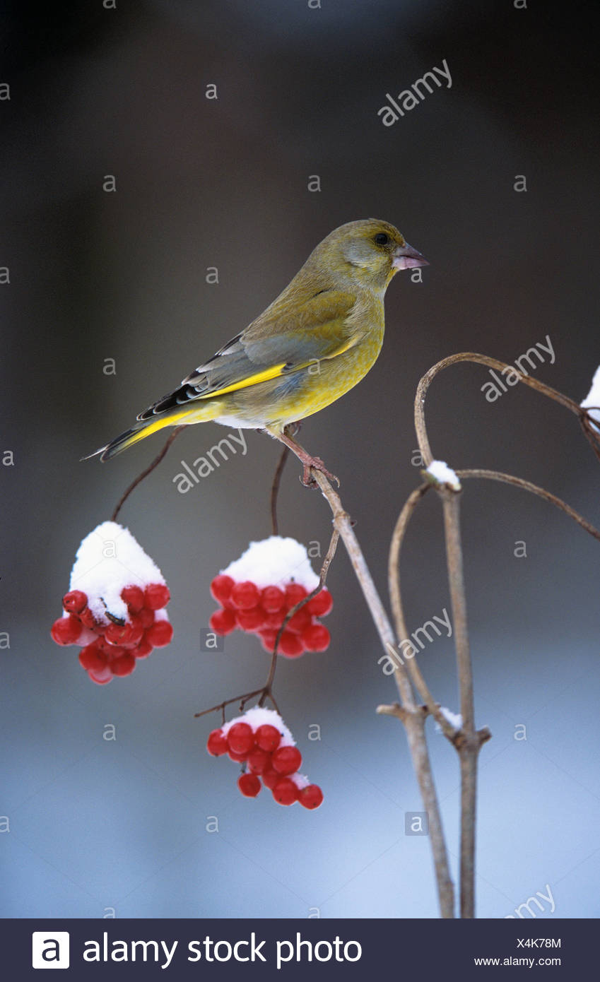 greenfinch on twig with berries snow Carduelis chloris - Stock Image