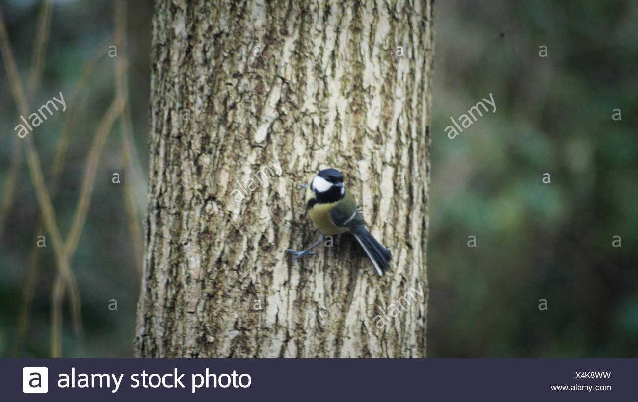 Songbird Perching On Tree Trunk - Stock Image