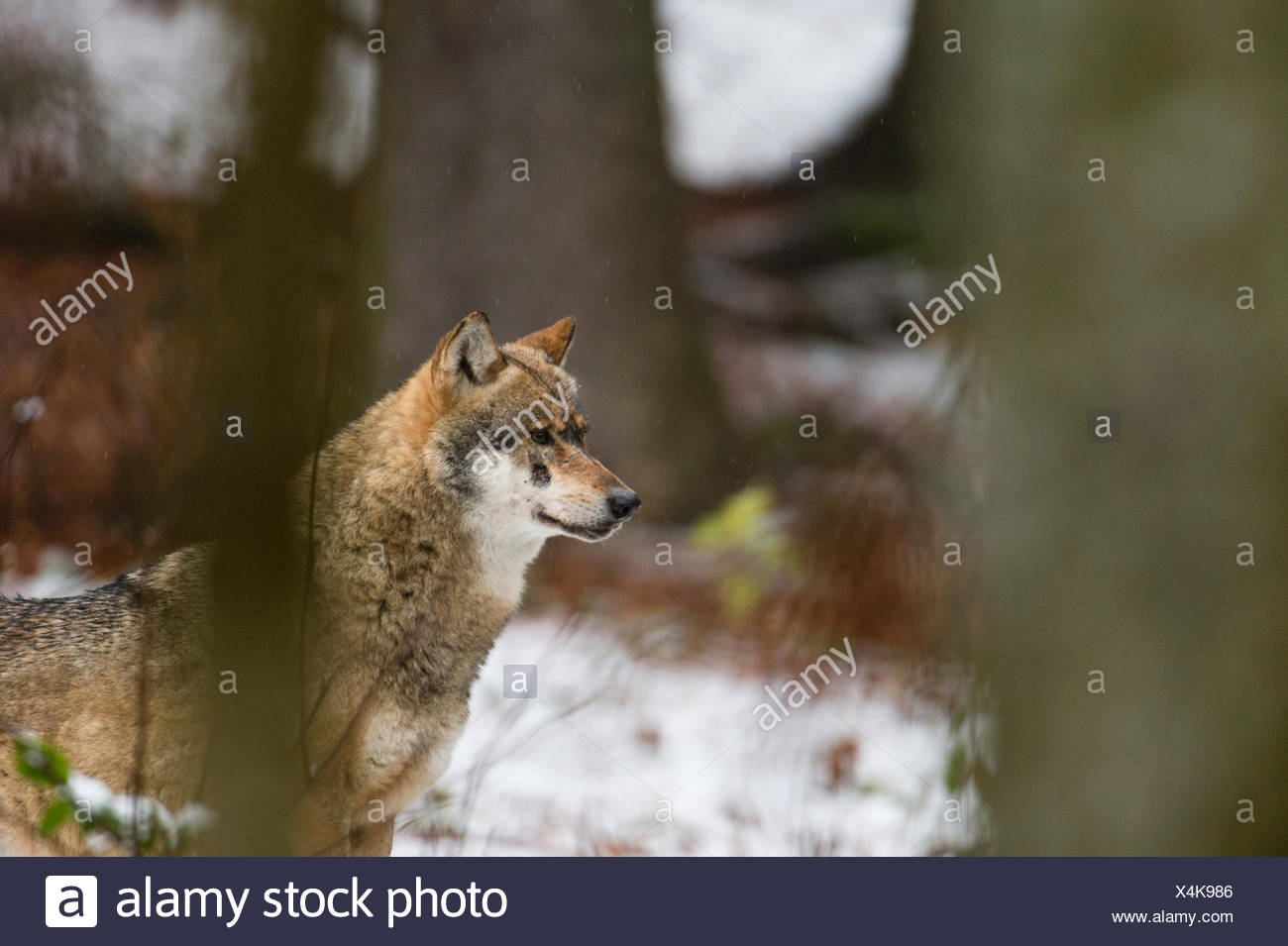 Grey wolf (Canis lupus) snowy forest, Bavarian forest national park, Bavaria, Germany Stock Photo