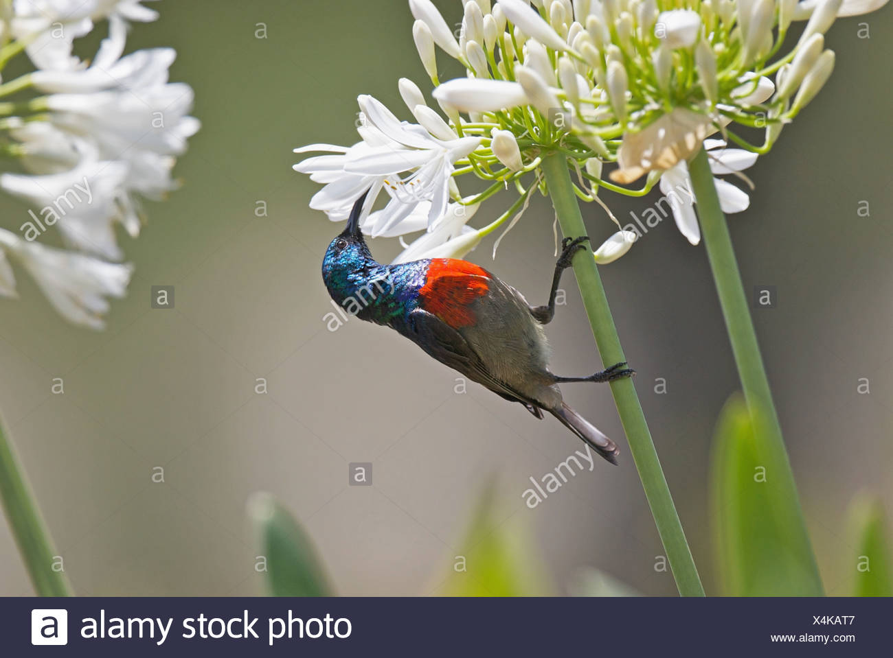 Male Greater Double-collared Sunbird Cinnyris afer feeding on Agapanthus flower in Outeniqua Mountains Western Cape Province Stock Photo