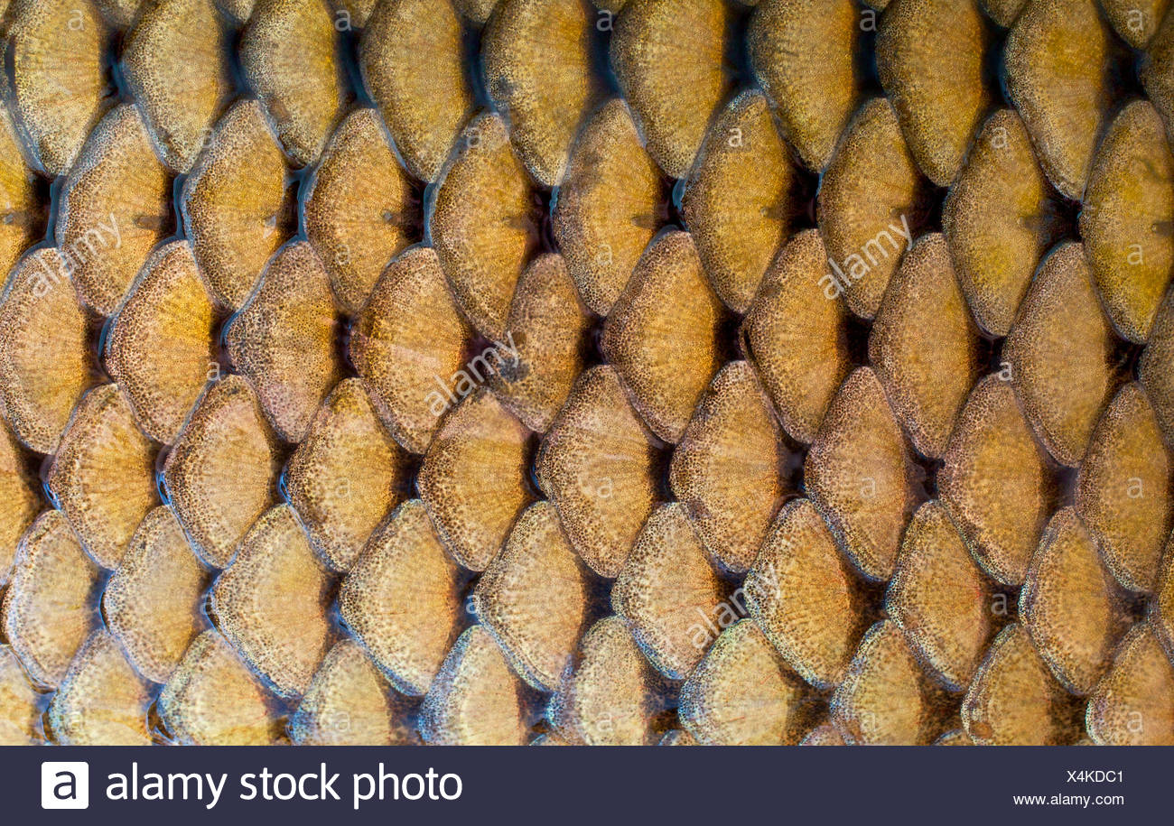 fish scales texture - Stock Image