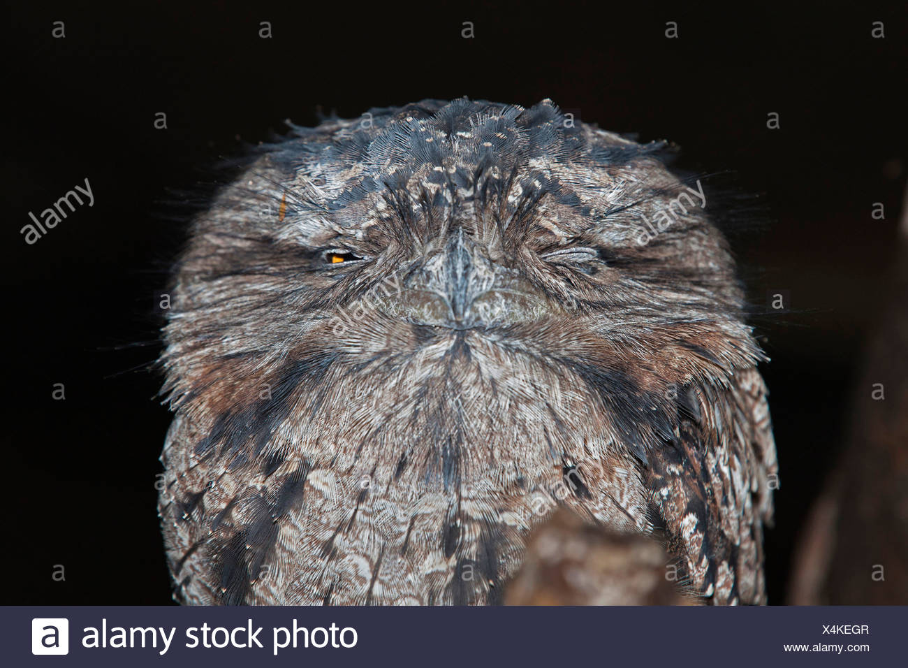 tawny frogmouth (Podargus strigoides), tied squeaker, Australia, Queensland - Stock Image