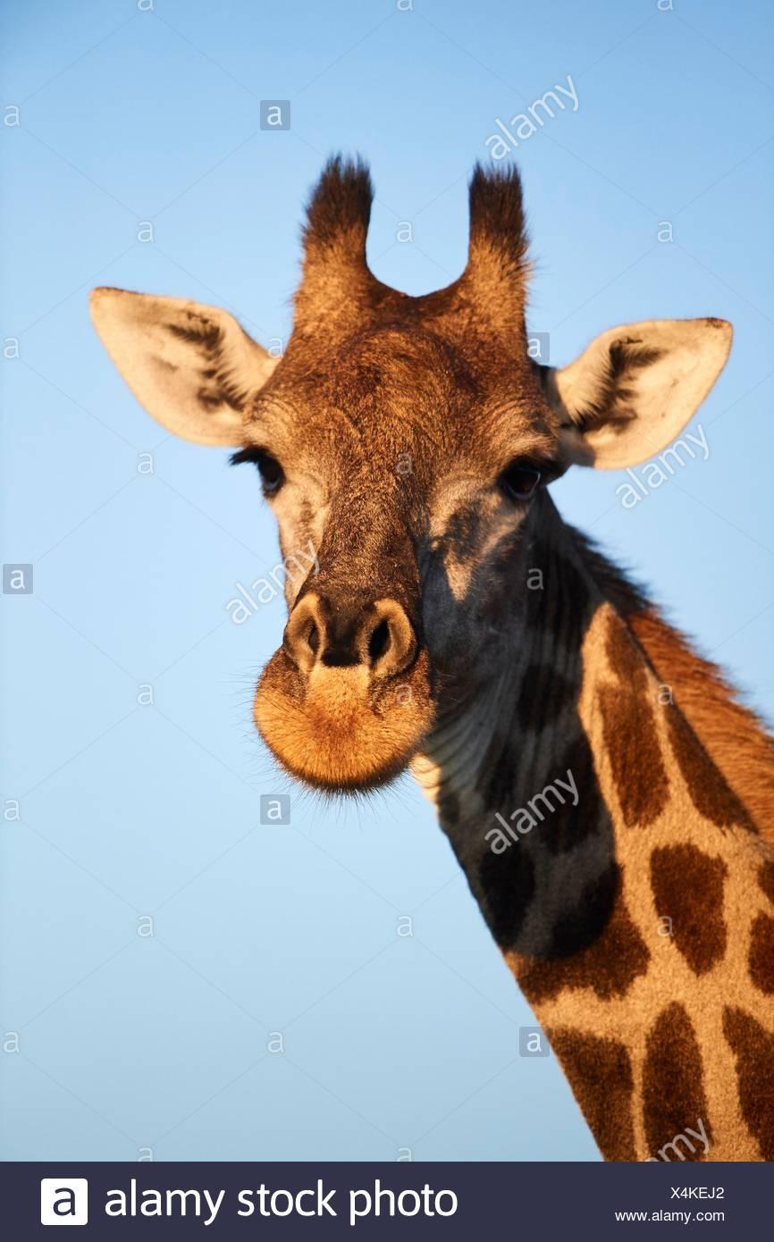 Giraffe portrait (Giraffa camelopardalis angolensis). Moremi National Park, Okavango Delta, Botswana, Southern Africa. - Stock Image