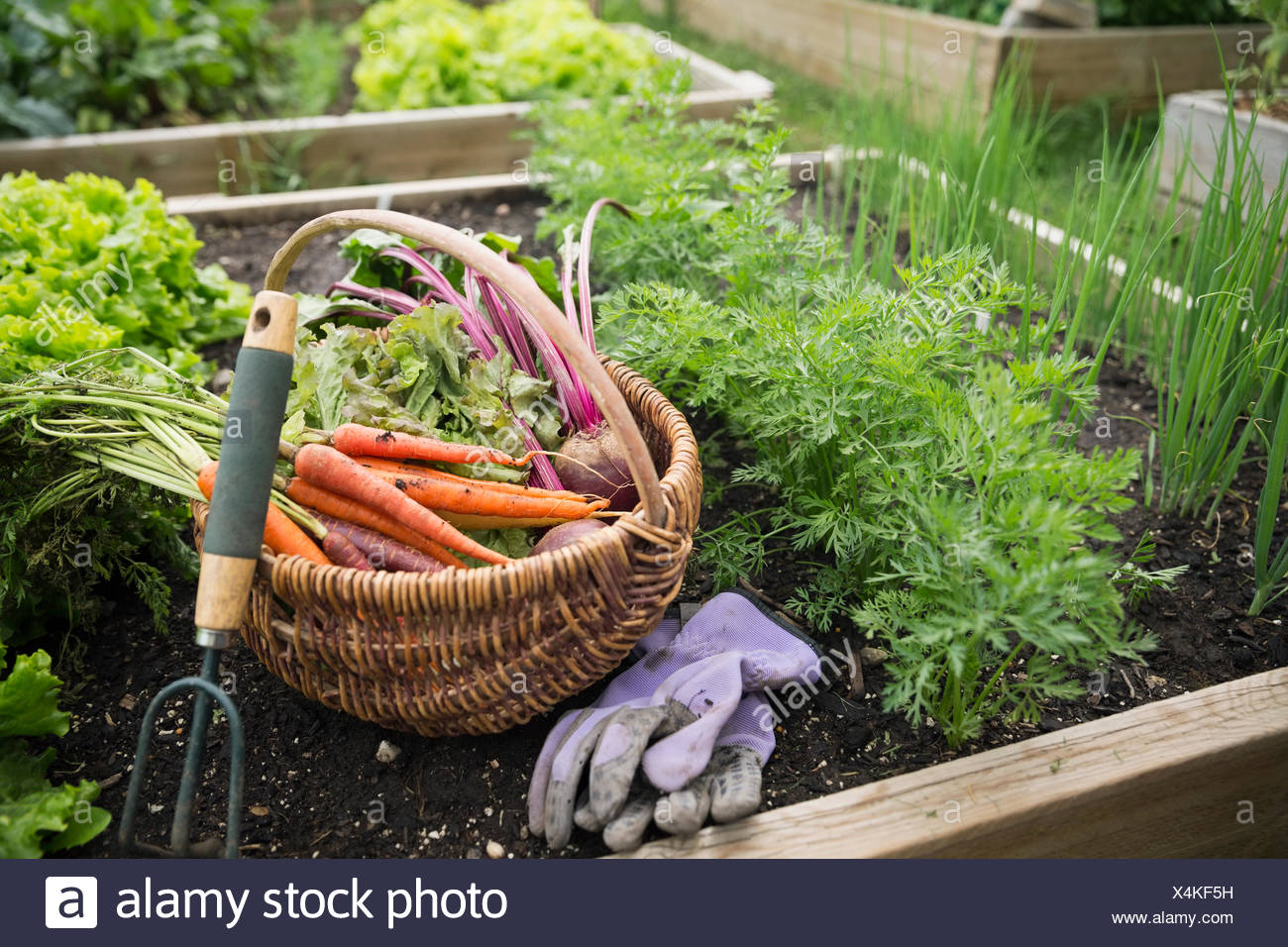 Harvested vegetables, gardening gloves and hand cultivator garden - Stock Image