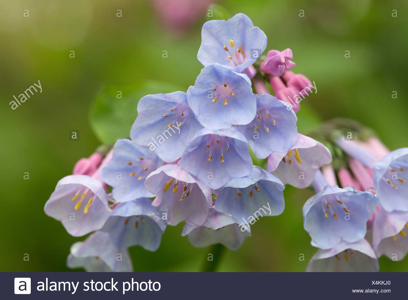 Virginia Bluebell, Mertensia virginica. Close view of flowerhead with cluster of funnel shaped, pale blue flowers. - Stock Image