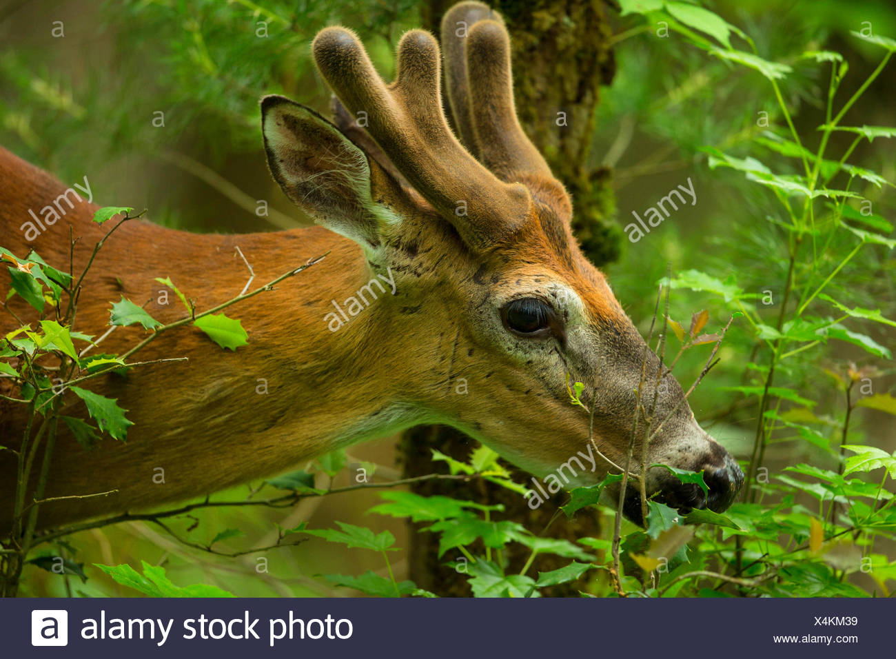 White-tailed deer (Odocoileus virginianus), browsing, portrait with antler in neoformation of the velvet, USA, Tennessee, Great Smoky Mountains National Park - Stock Image
