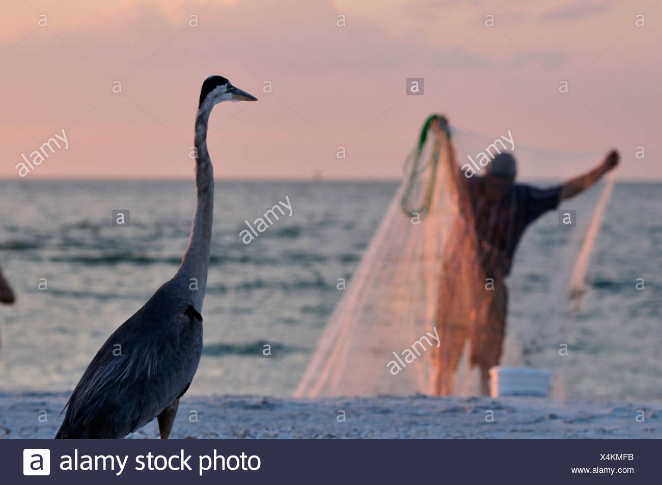 Heron, watching, fisherman, fishing net, Madeira Beach, near