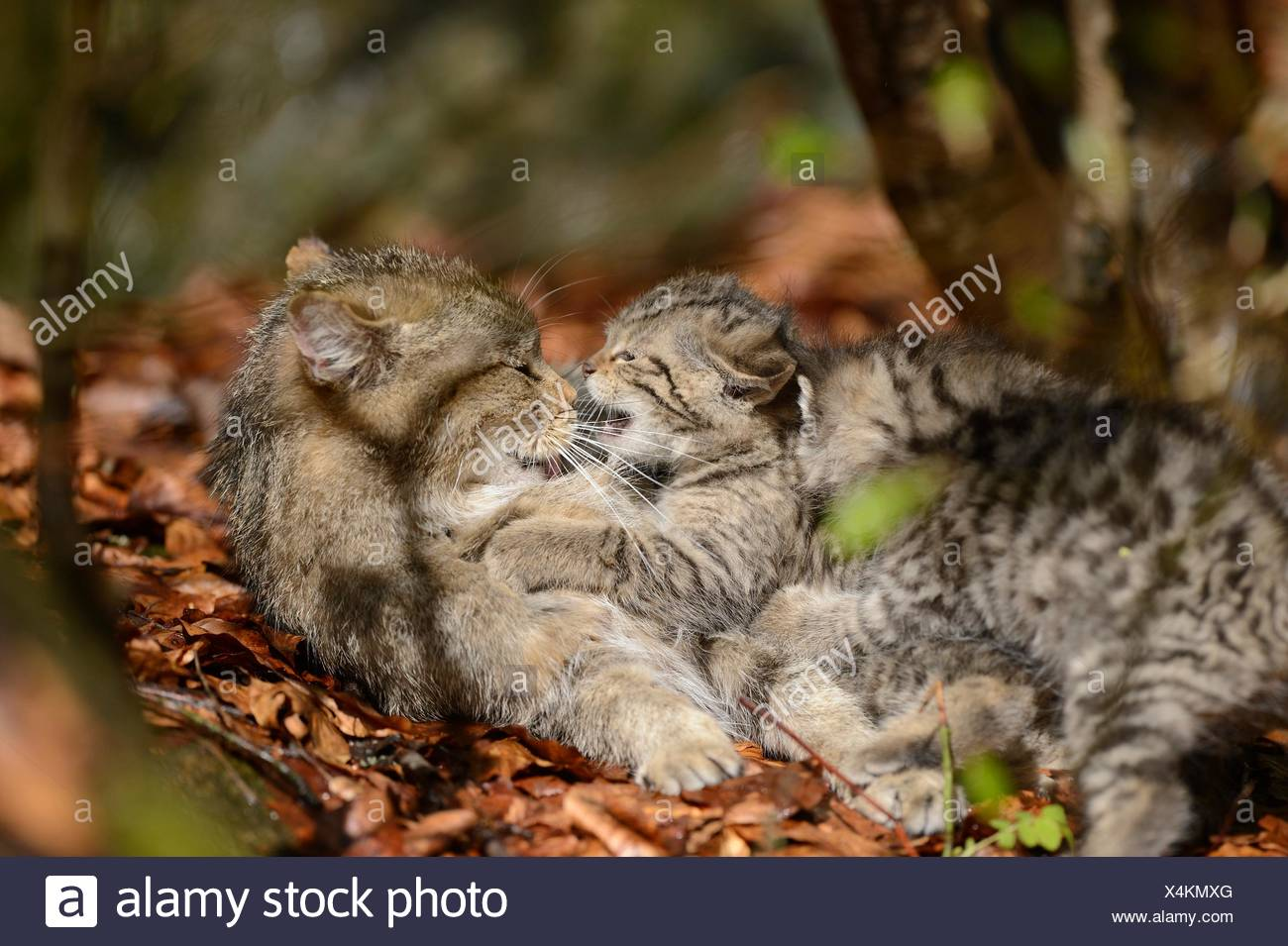 Two European wildcat kittens in Bavarian Forest National Park, Germany Stock Photo