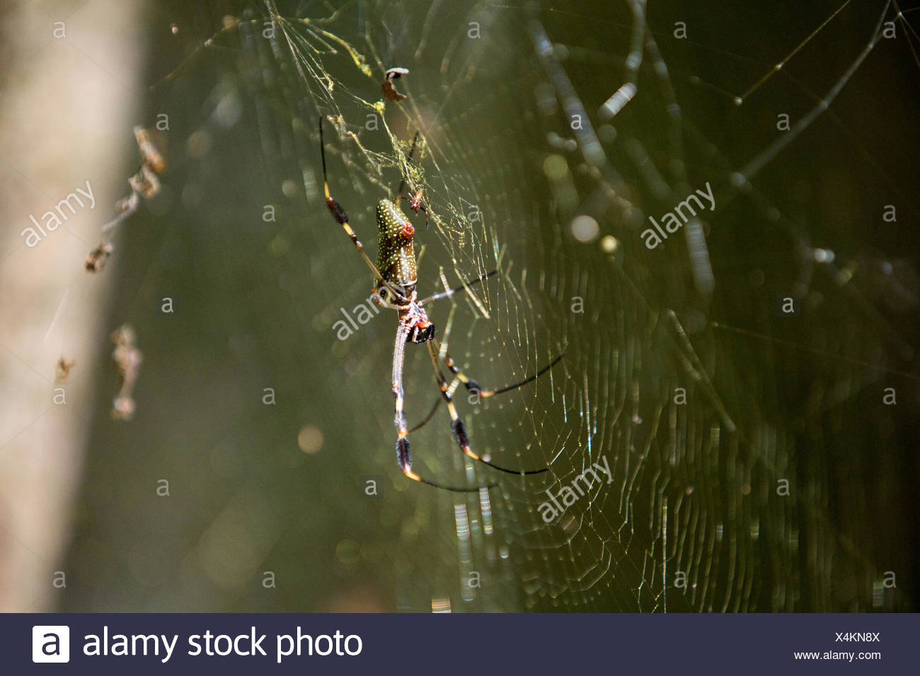 A golden-orb spider in its web. - Stock Image