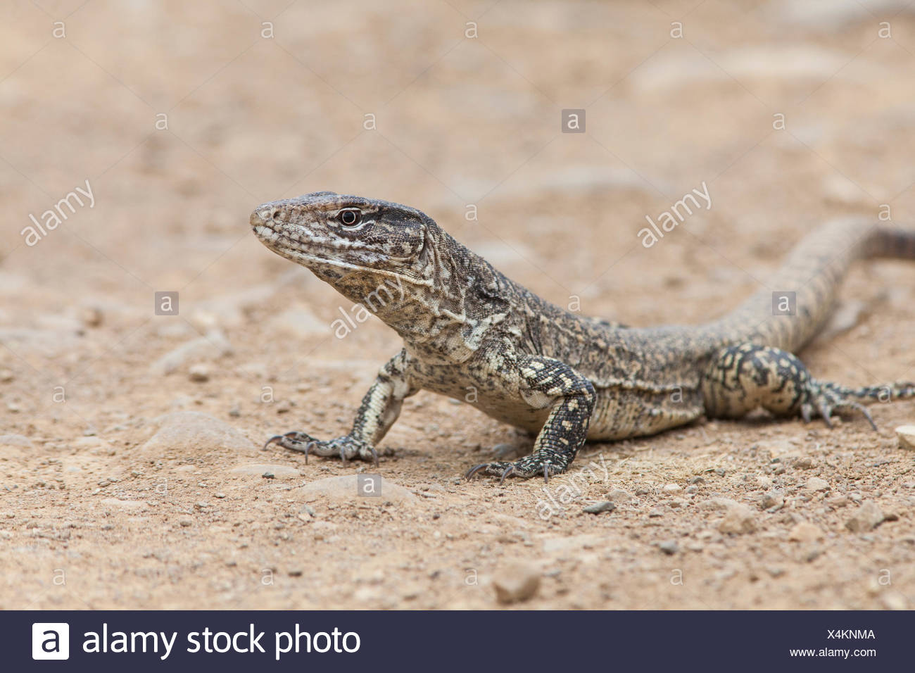 Portrait of a Tumbesian tegu lizard, Callopistes flavipunctatus. Stock Photo