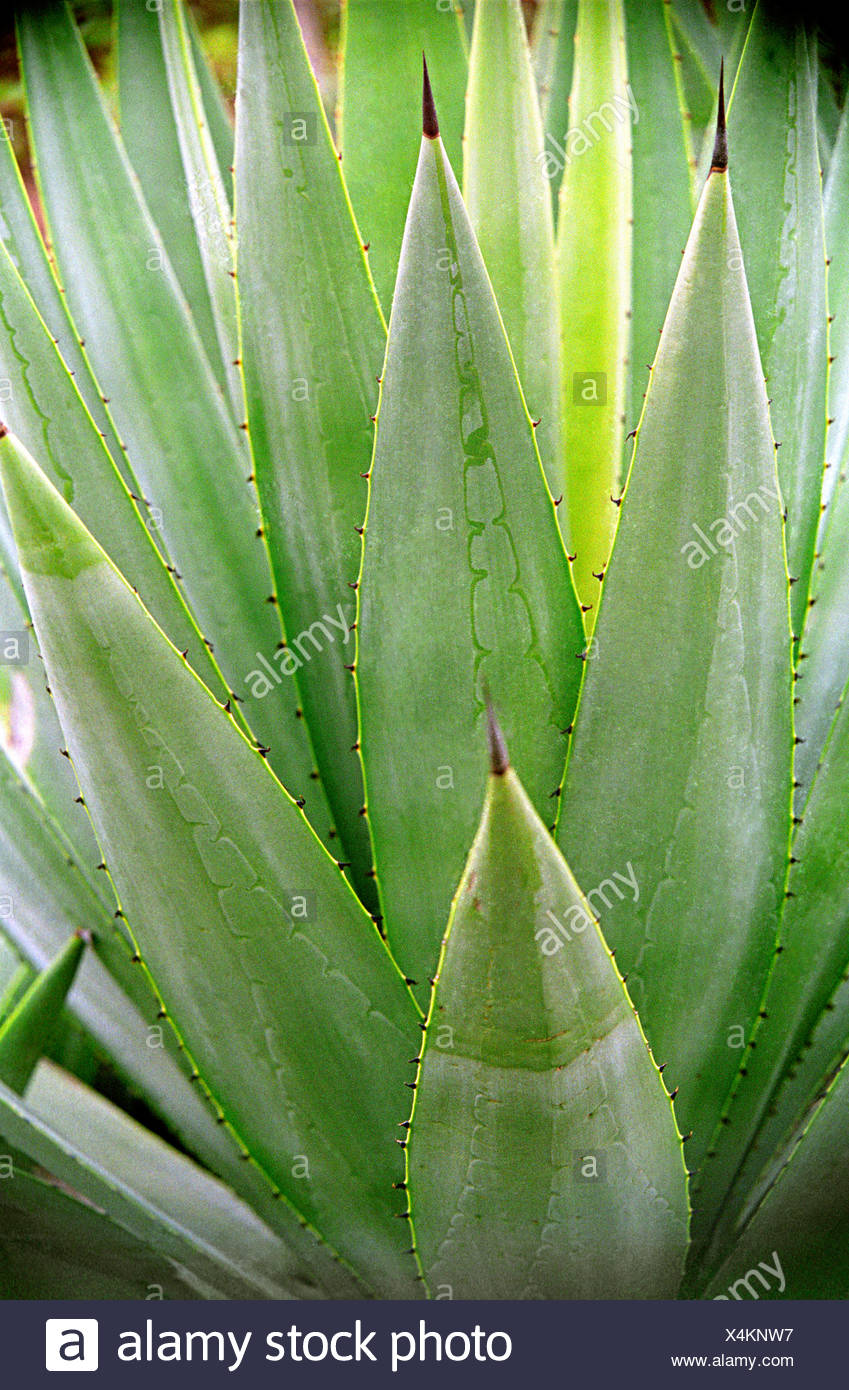Aloe Vera Plant Care The Ultimate Guide For How To Grow: Medicinal Plants Ayurvedic Medicinal Plant Stock Photos