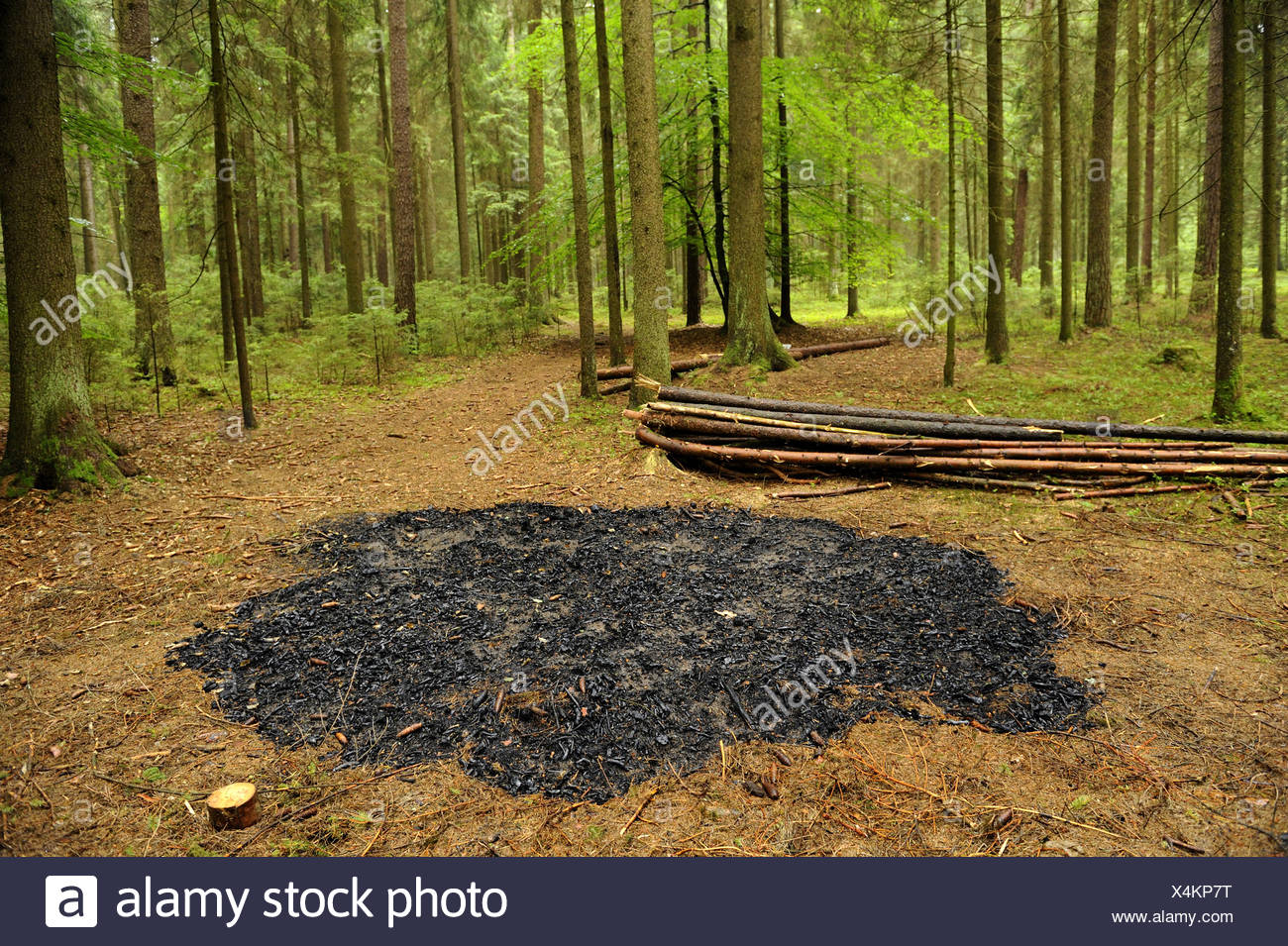 Norway spruce (Picea abies), fire place in a spruce forest, Germany, Bavaria, Upper Palatinate - Stock Image