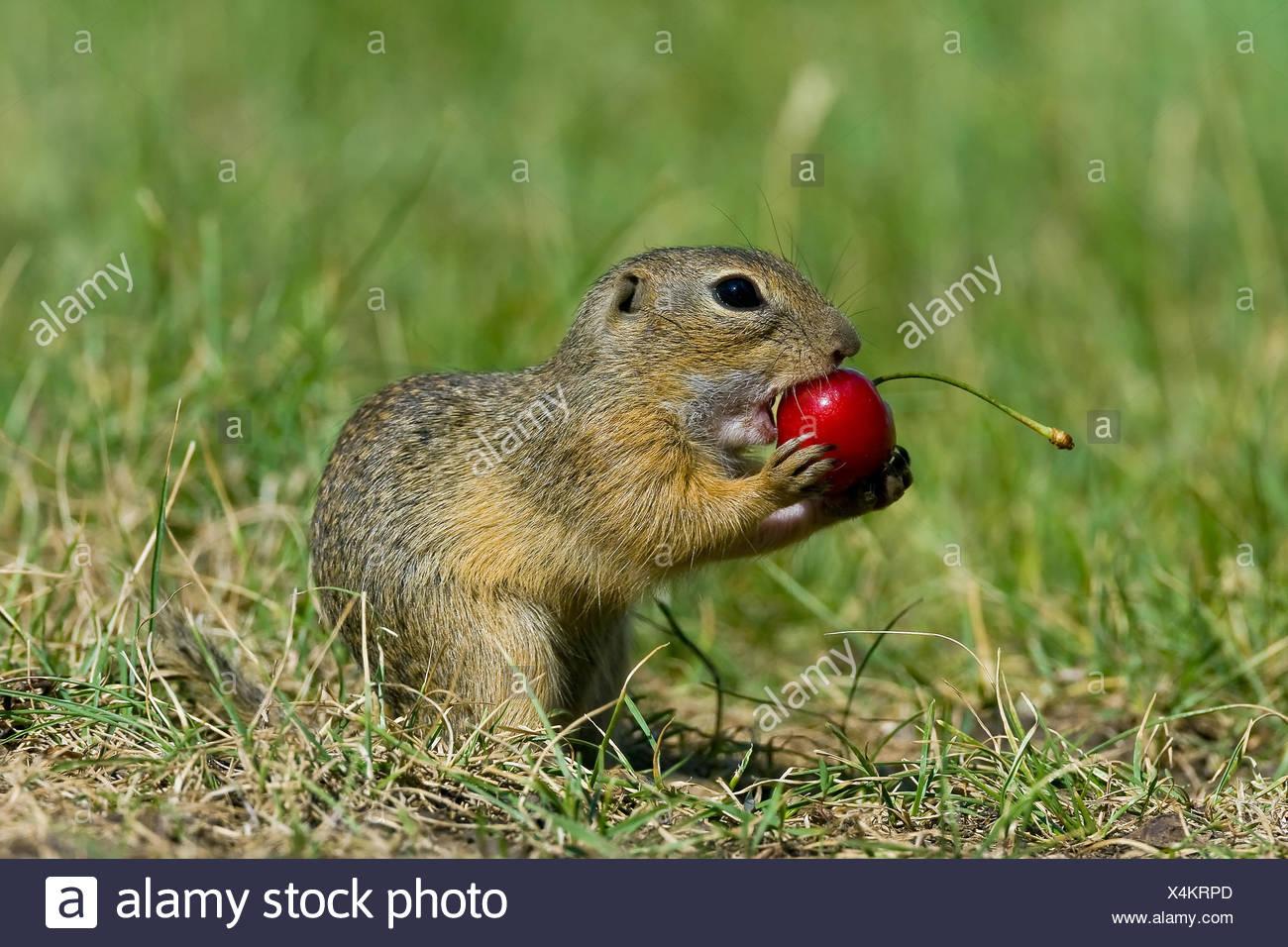 European ground squirrel, European suslik, European souslik (Citellus citellus, Spermophilus citellus), feeding on a cherry, Austria, Burgenland Stock Photo