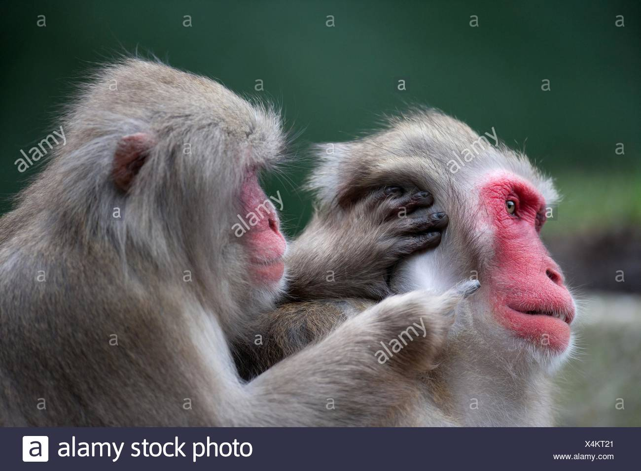 Japanese macaques - Stock Image