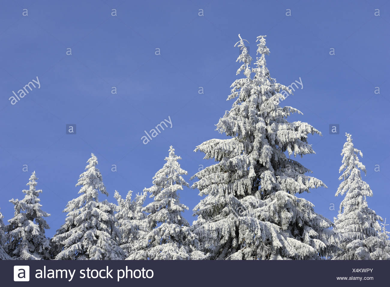 Conifers, snow-covered, winter, - Stock Image