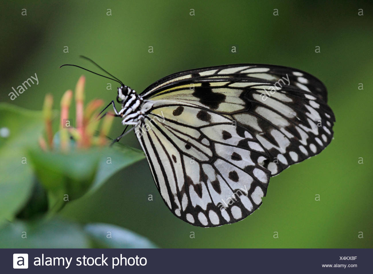tree nymph (Idea leuconoe), sitting at a plant - Stock Image