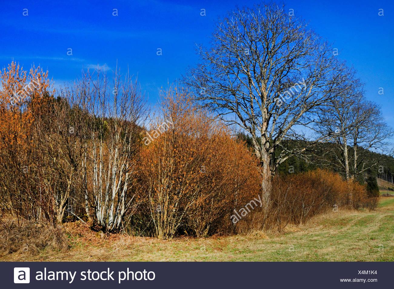 hedge at the Black Forest, Germany, Black Forest, Breisgau-Hochschwarzwald, Lenzkirch - Stock Image