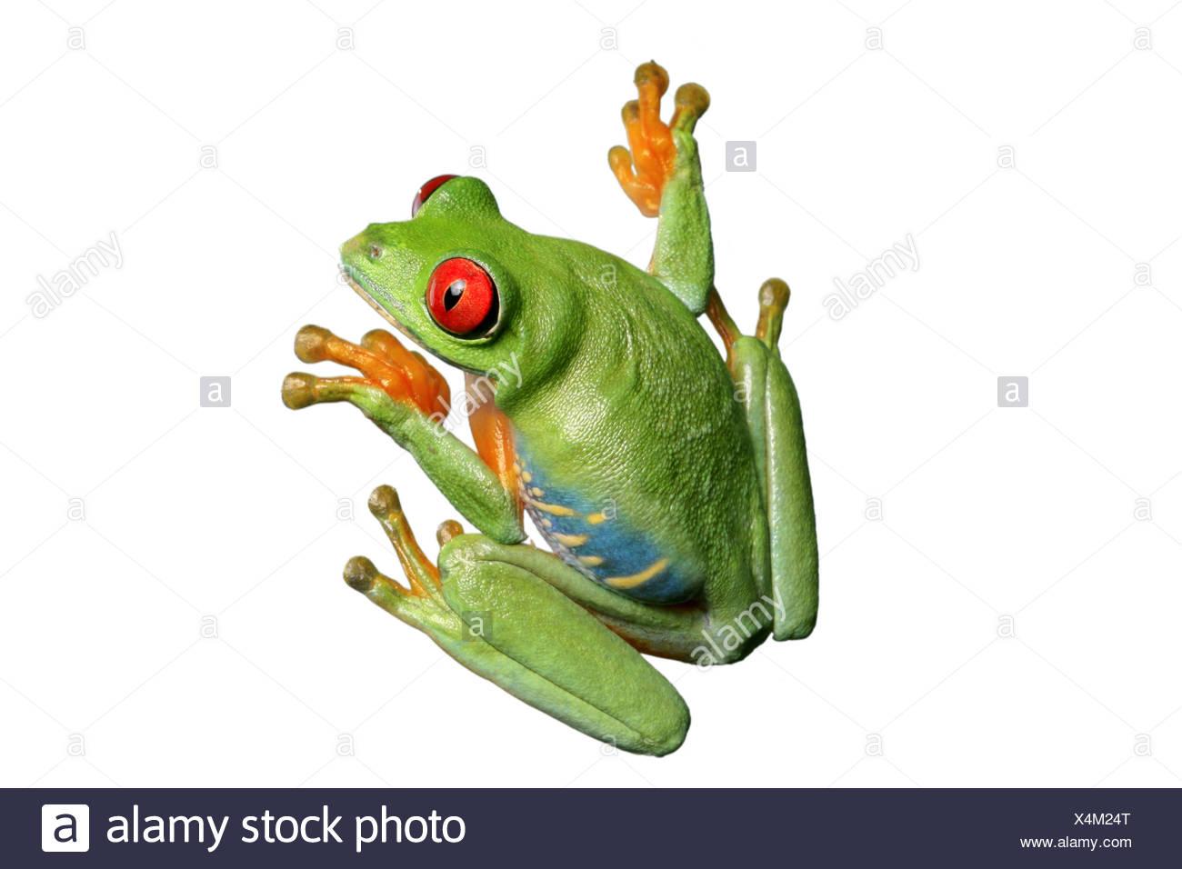 red-eyed treefrog, redeyed treefrog, redeye treefrog, red eye treefrog, red eyed frog (Agalychnis callidryas) Stock Photo