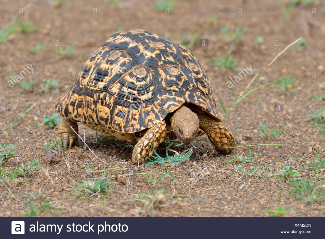 Leopard tortoise (Stigmochelys pardalis), feeding on grass, Kruger National Park, South Africa - Stock Image