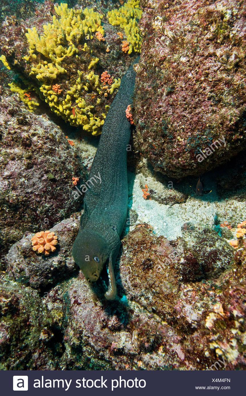 Galapagos Islands, Ecuador, Speckled moray eel (Gymnothorax), elevated view - Stock Image
