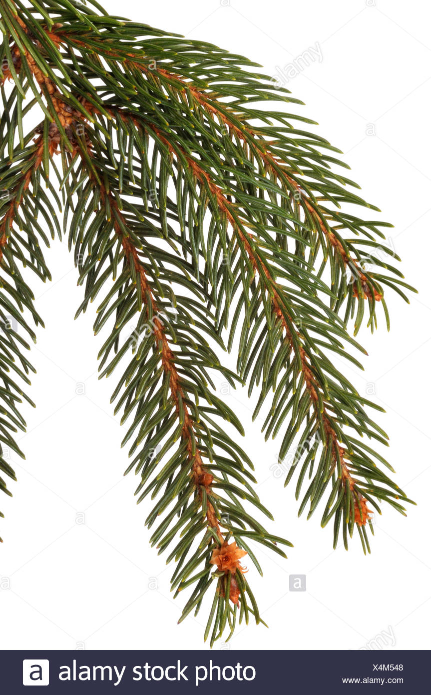 Norway spruce (Picea abies), branch, cut out - Stock Image